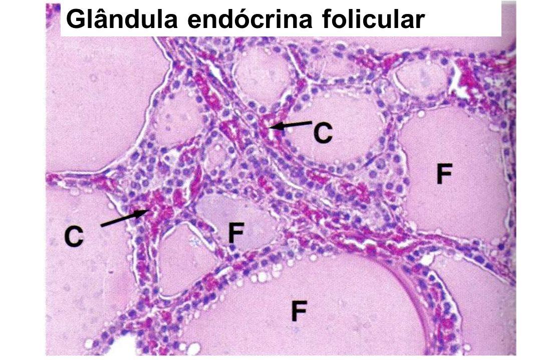Glândula Endócrina Folicular -Tireóide localização - porção superior do pescoço, abaixo da laringe.