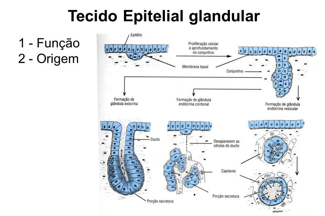 3 - Características gerais - unicelular/pluricelular - multicelular + septos de conjuntivo = lobos 4 - Tipos morfológicos de glândulas - Glândulas exócrinas – lançam o produto de secreção no meio externo; - Glândulas endócrinas – lançam o produto de secreção em vasos sanguíneos; - Glândulas anfícrinas – associa os dois tipos de secreção anterior;