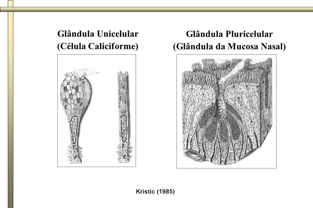 - Glândula Exócrina multicelular: - Critérios de Classificação 1 - quanto ao número de ductos - simples - composto - pâncreas; parótida; sublingual 2 - quanto à forma dos adenômeros - tubuloso - intestino grosso - acinoso - parótida - túbulo-acinoso - esôfago 3 - quanto ao produto de secreção - mucosa - esôfago - serosa - parótida - sero-mucosa - submandibular 4 - quanto ao modo de liberação da secreção - merócrina - pâncreas; parótida, etc.