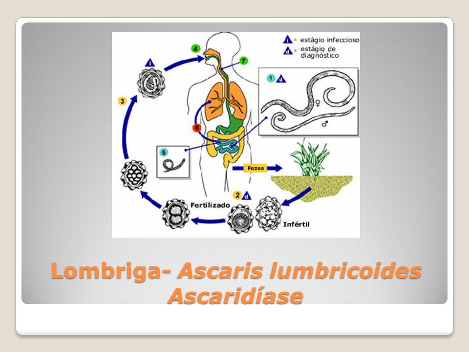Ancilostomose ou Amarelão Ancilóstomo -Ancylostoma duodenale