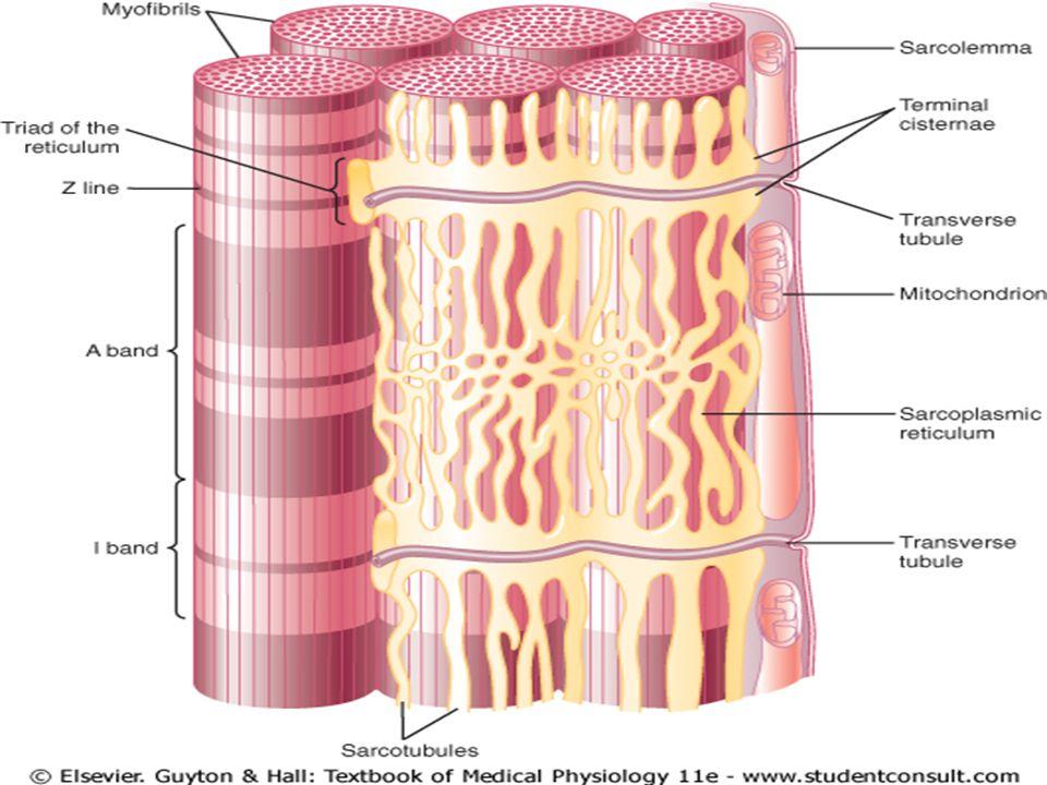 Tecido Muscular Estriado Cardíaco MORFOLOGIA: rede tridimensional de células (com 1 ou 2 núcleos centrais) que se ligam e se comunicam por junções aderentes e comunicantes, os discos intercalares.