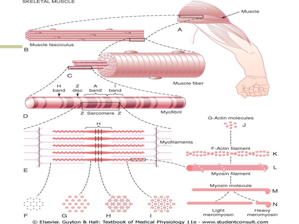 Sarcômero Banda A: porção escura (anisotrópica) contém actina e miosina, mas na porção central, a banda H, há apenas miosina Banda I:porção mais clara (isotrópica), contém somente filamentos de actina Linha Z: no centro da Banda I, composta por actina Felipe Basilato Mazega