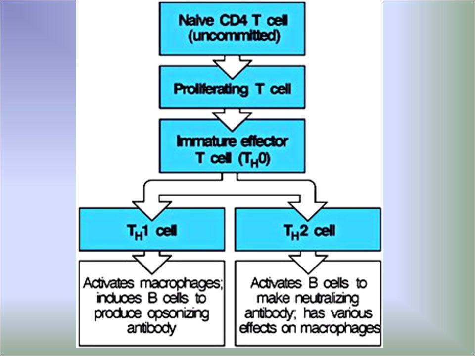 As células TCD8+ (Tc ) são eficazes essencialmente contra vírus e células tumorais; Produzem TNF- e IFN-.