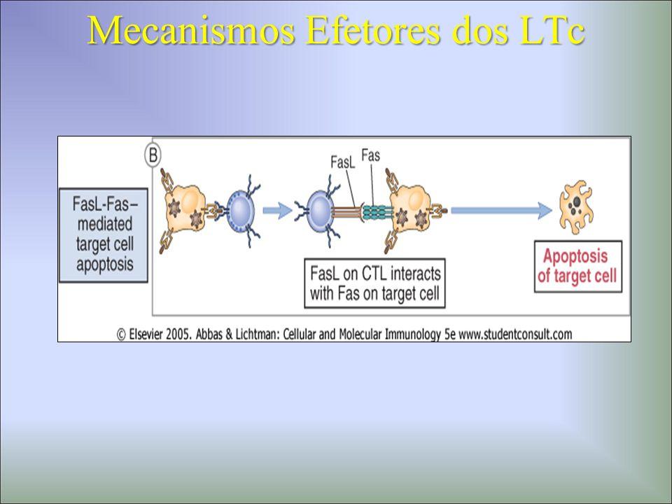 Mecanismos de ativação dos LTc Pre-LTc LTc LTh Class I MHC APC MHC Classe II 1.