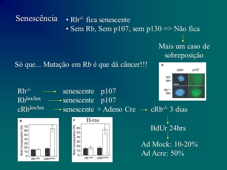cRb lox/lox Ad Ad Cre 298 27 73 3 dias (Mitose) Pode completar o ciclo (não só BdUr) Injetar anti-corpos contra p53 reverte a senescência, temporariamente.