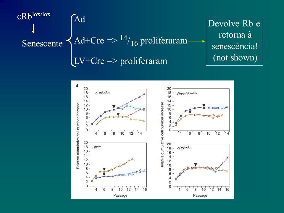 Conclusão: Os diferentes membros da familia Rb (p107 e p 130) sao igualmente capazes de induzir e manter o estado de senescencia A analise de Rb -/- pos-senescente mostrou que os marcadores associados a senescencia sao dependentes da funcao de Rb, controlando assim alguns aspectos do programa de senescencia A parada no ciclo celular induzido pela senescencia nao e um processo irreversivel.