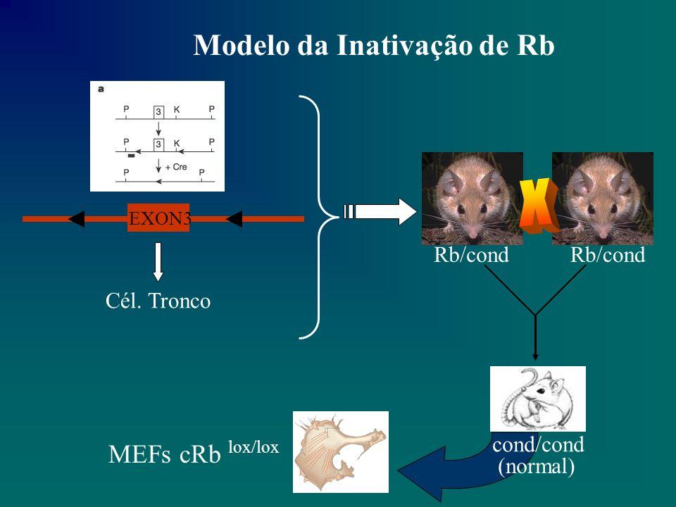 MEFs cRb lox/lox Taxa de proliferação normal Expressão de Rb normal Vetor Adeno Cre Infecta TODAS as células 24 hrs EXON 3