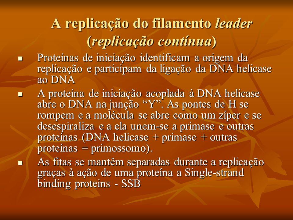 A replicação do filamento leader (cont.) A primase (que é uma RNA-polimerase) constrói o primer de RNA em uma região não coberta pelas SSB.