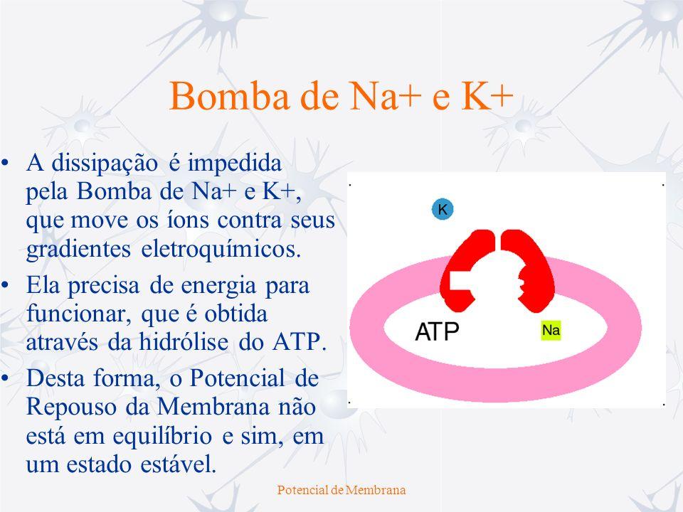 Potencial de Membrana Bomba de Na+ e K+ Ela expulsa 3 íons de Na+ para cada 2 íons de K+ que traz para seu interior e, por isso, é dita de eletrogênica, ou seja, gera uma corrente iônica efetiva de efluxo, que tende a hiperpolarizar a membrana até um novo potencial de repouso.