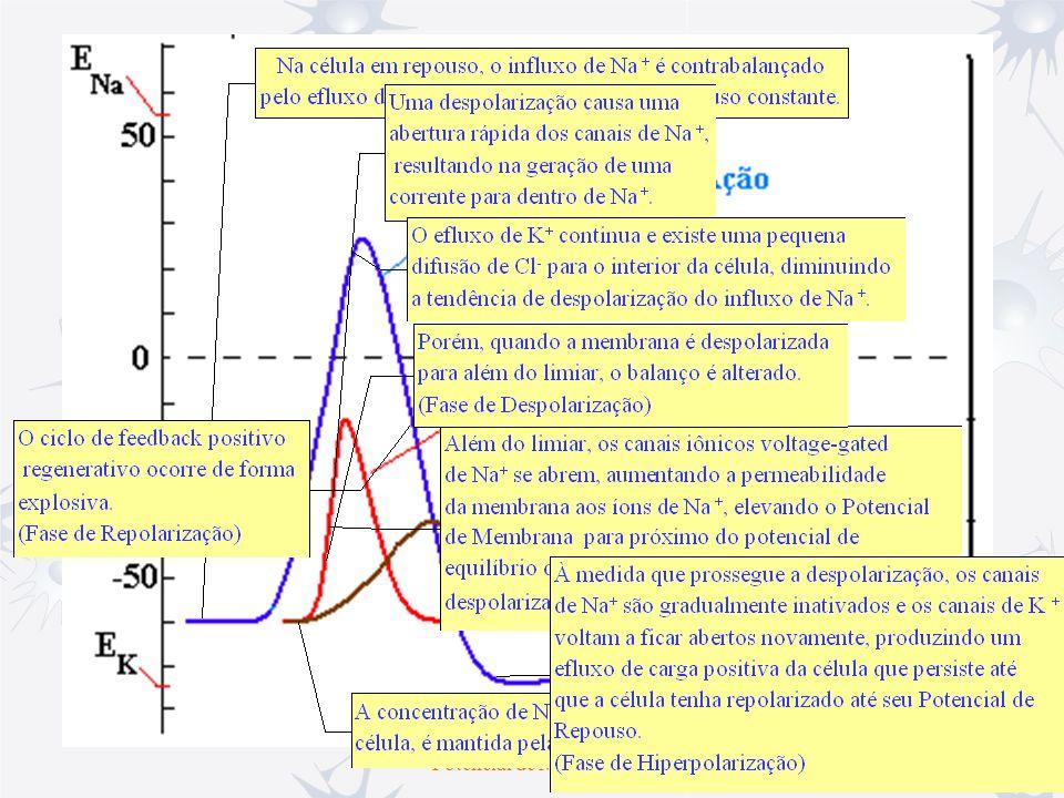 Canais Iônicos Potencial de Ação Todo o potencial de ação (PA), começa a partir do potencial de membrana (~ -70 mV).