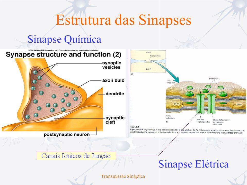 Transmissão Sináptica Sinapses Elétricas Qual a importância das sinapses elétricas.