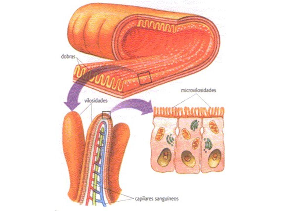 l) Função do Suco Entérico Contém enzimas que terminam a digestão