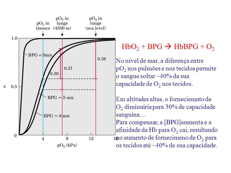 O estado T da Hb tem um sítio para BPG (cargas positivos em azul)