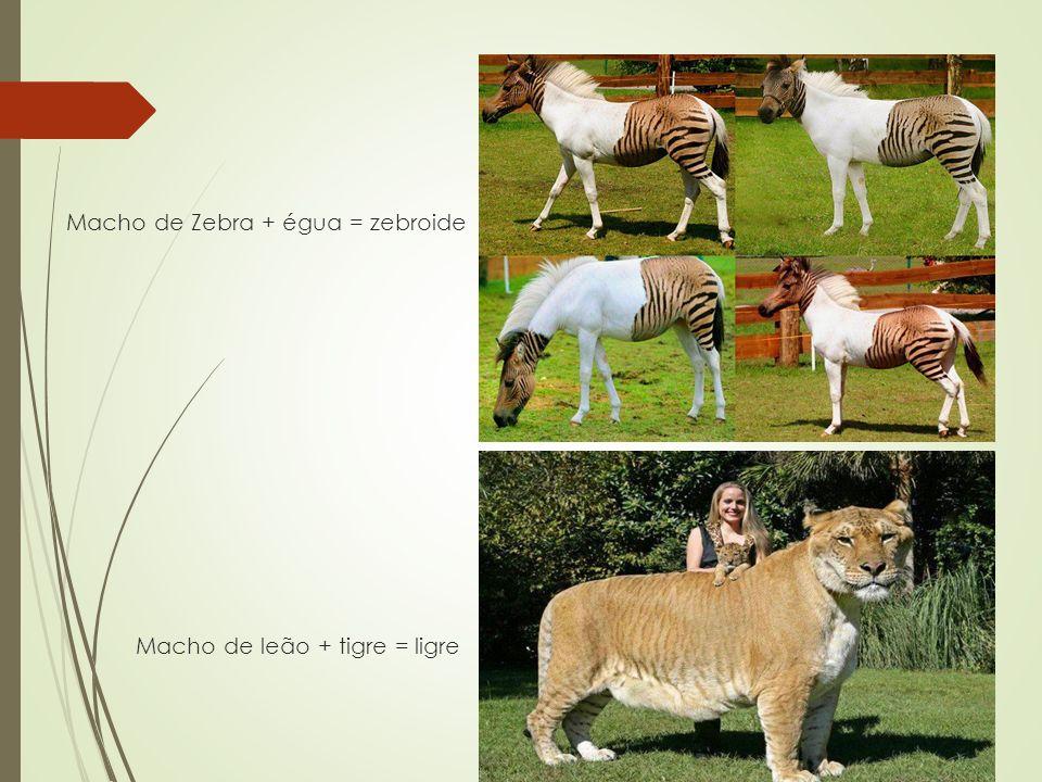 Macho de Zebra + égua = zebroide Macho de leão + tigre = ligre