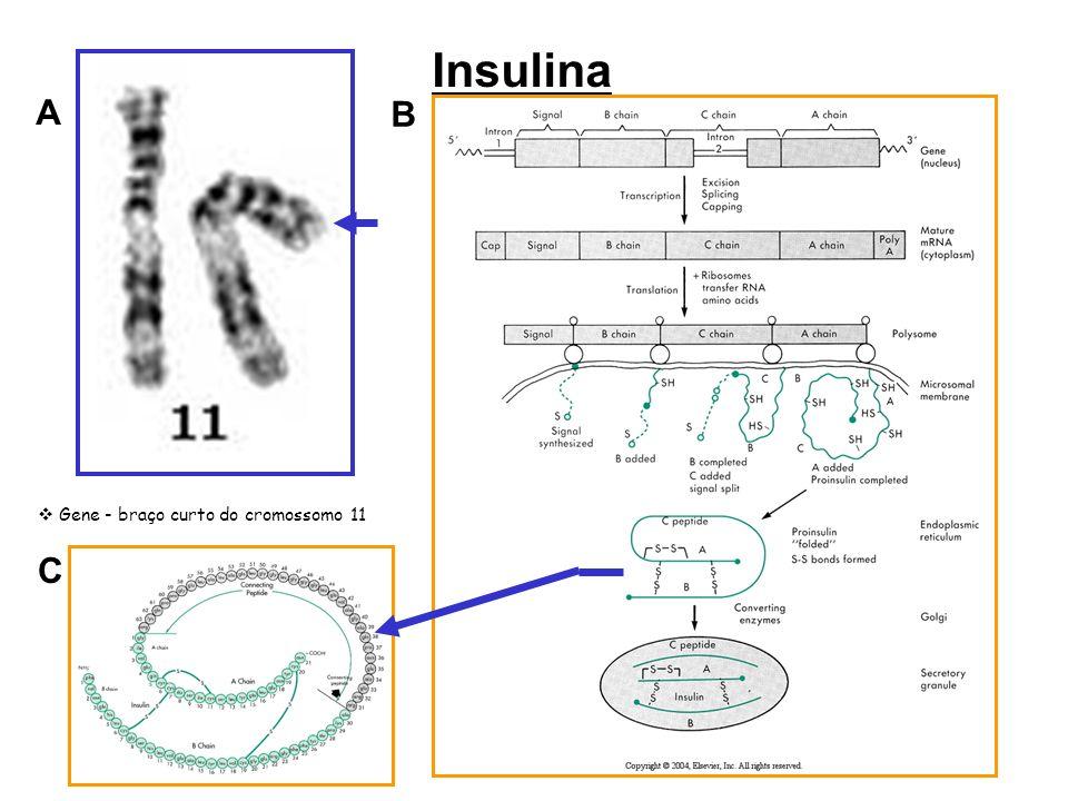 Insulina A B Gene - braço curto do cromossomo 11 C