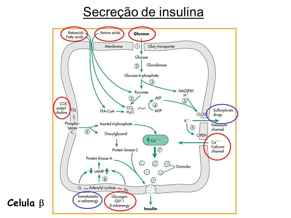 Secreção de insulina Celula 