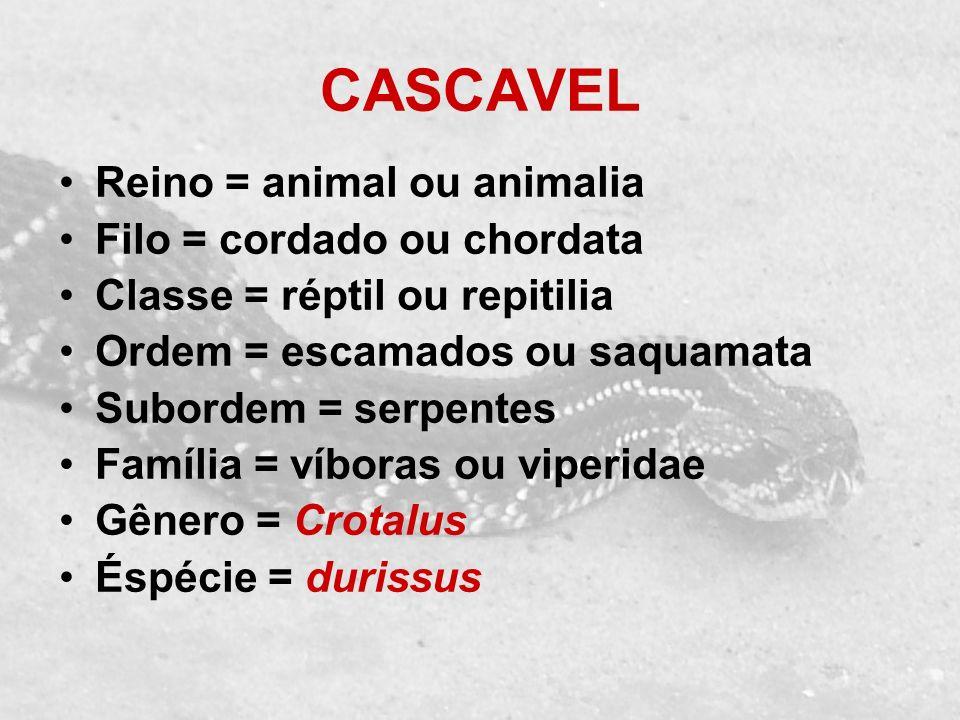 CASCAVEL Reino = animal ou animalia Filo = cordado ou chordata