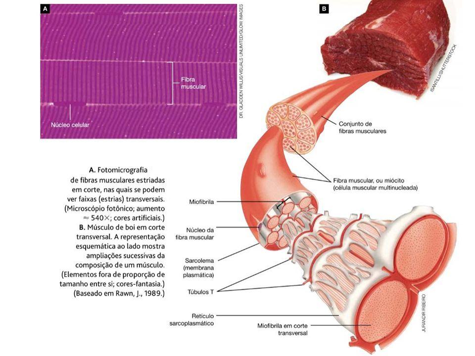 Famoso Anatomía De Una Fibra Muscular Cresta - Anatomía de Las ...