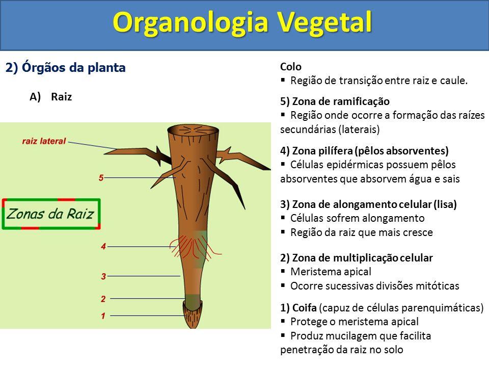 Organologia Vegetal 2) Órgãos da planta Raiz Colo