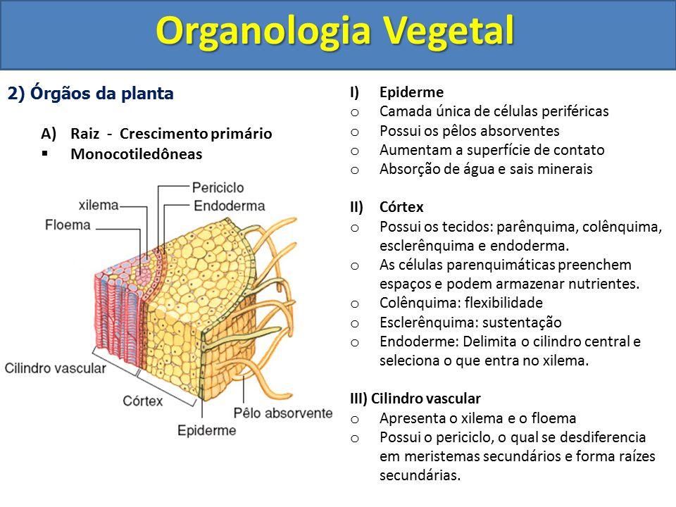 Organologia Vegetal 2) Órgãos da planta Raiz - Crescimento primário