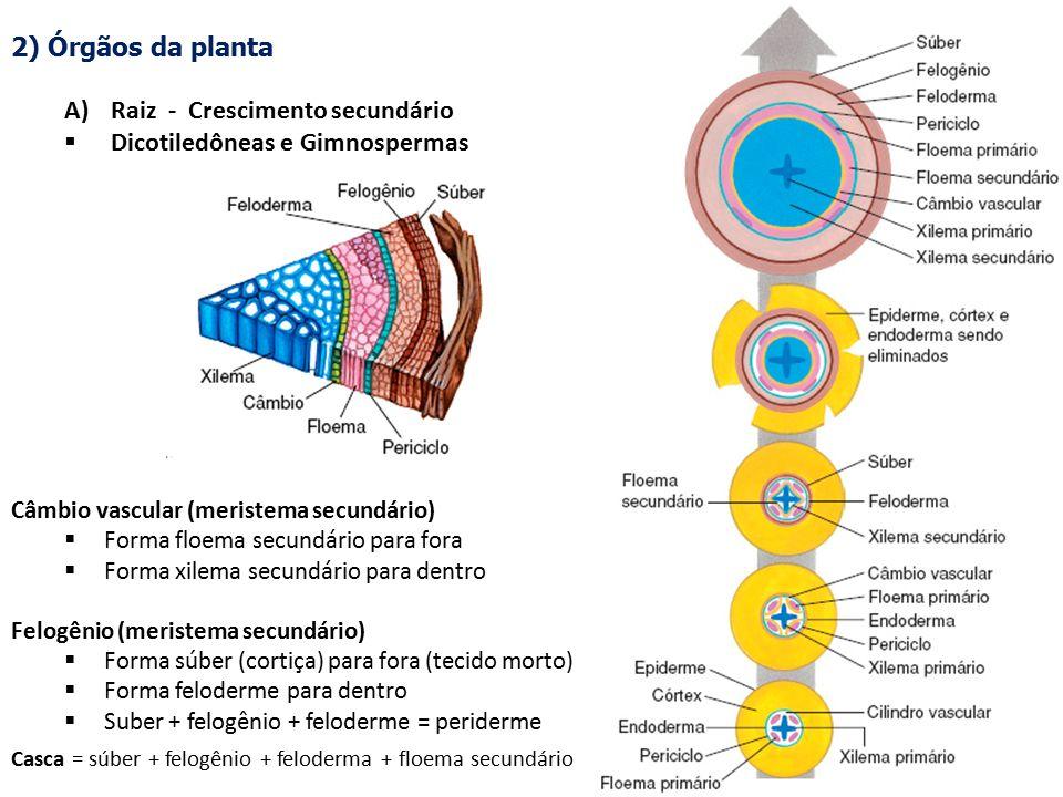 Raiz - Crescimento secundário Dicotiledôneas e Gimnospermas