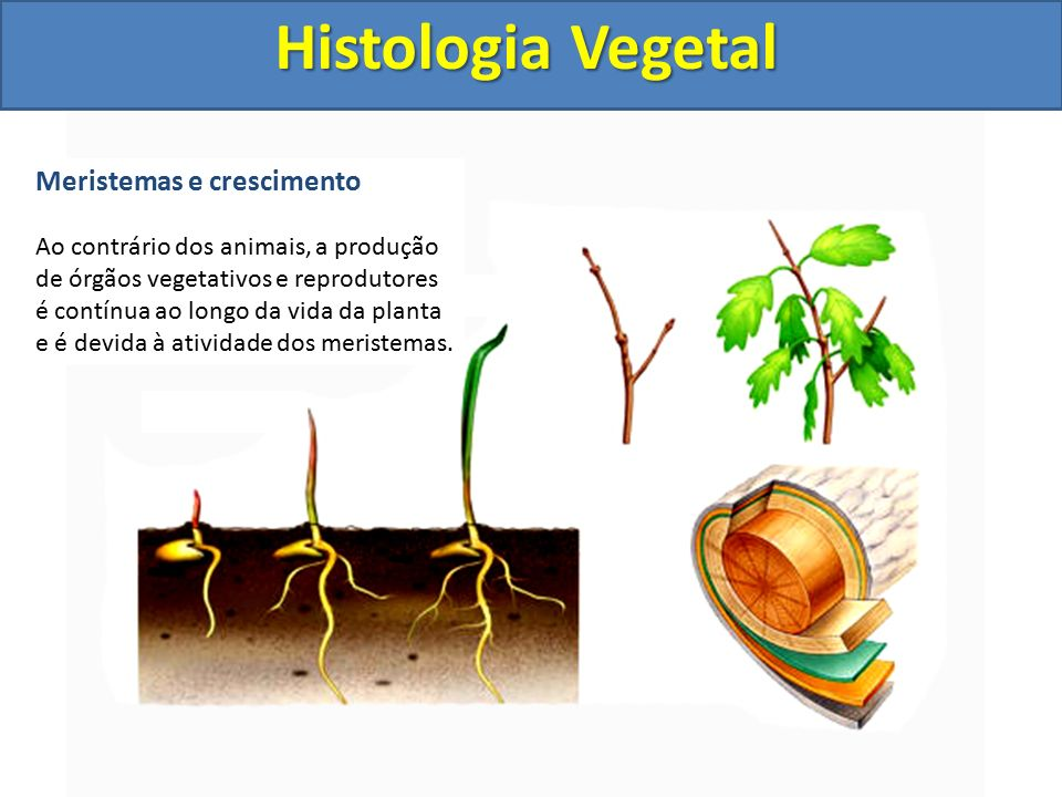 Histologia Vegetal Meristemas e crescimento