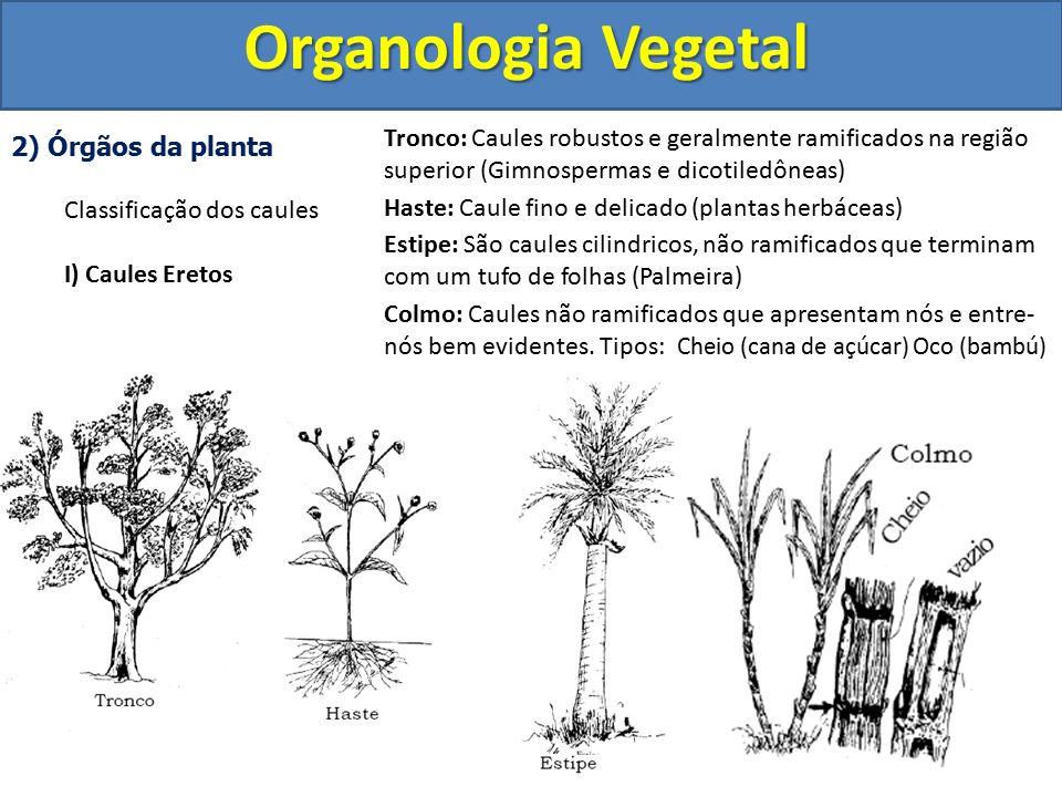 Organologia Vegetal Tronco: Caules robustos e geralmente ramificados na região superior (Gimnospermas e dicotiledôneas)