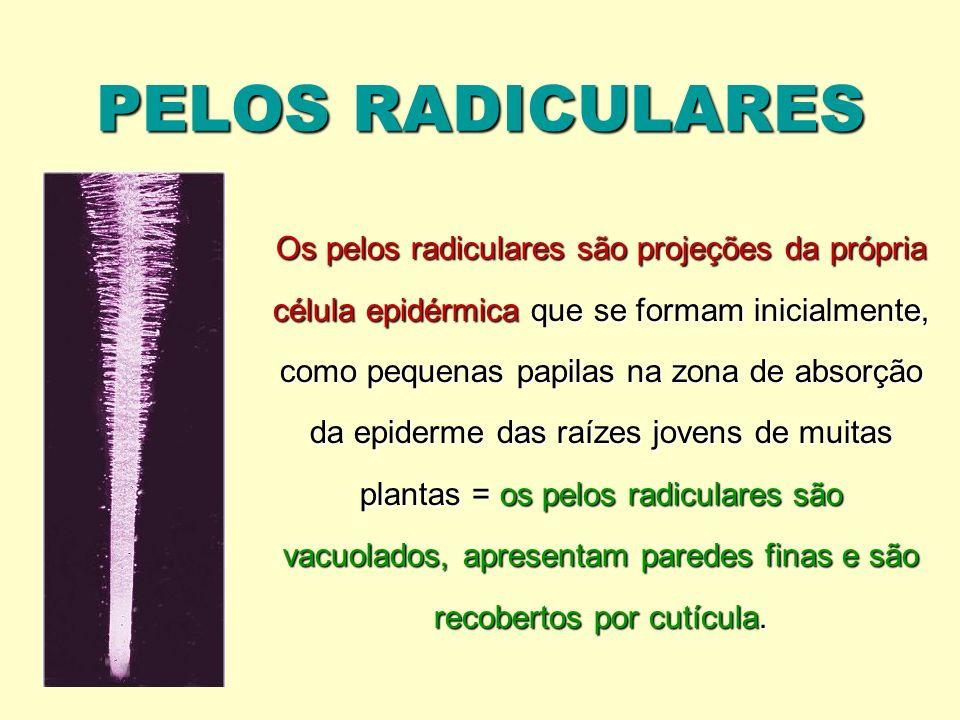 PELOS RADICULARES