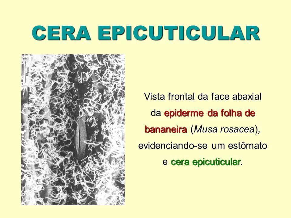 CERA EPICUTICULAR Vista frontal da face abaxial da epiderme da folha de bananeira (Musa rosacea), evidenciando-se um estômato e cera epicuticular.