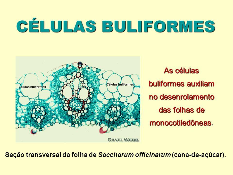 CÉLULAS BULIFORMES Seção transversal da folha de Saccharum officinarum (cana-de-açúcar).