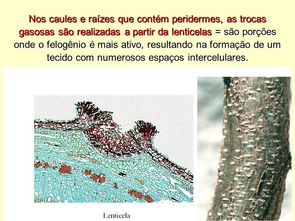 Nos caules e raízes que contém peridermes, as trocas gasosas são realizadas a partir da lenticelas = são porções onde o felogênio é mais ativo, resultando na formação de um tecido com numerosos espaços intercelulares.
