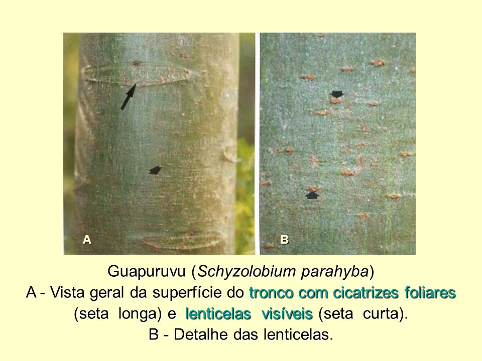 Guapuruvu (Schyzolobium parahyba)