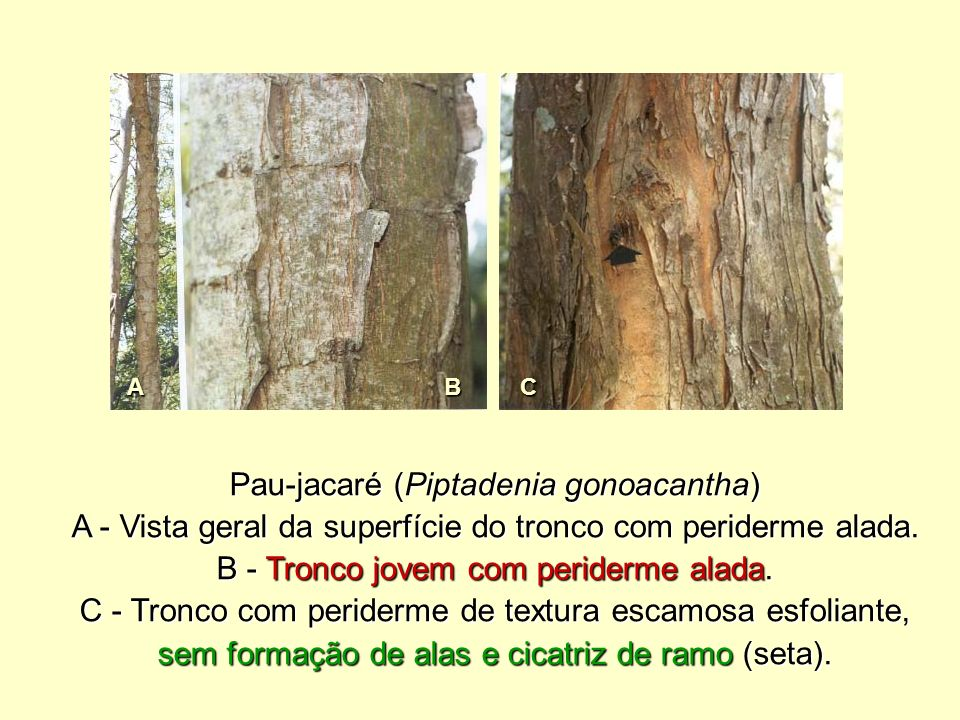 Pau-jacaré (Piptadenia gonoacantha)