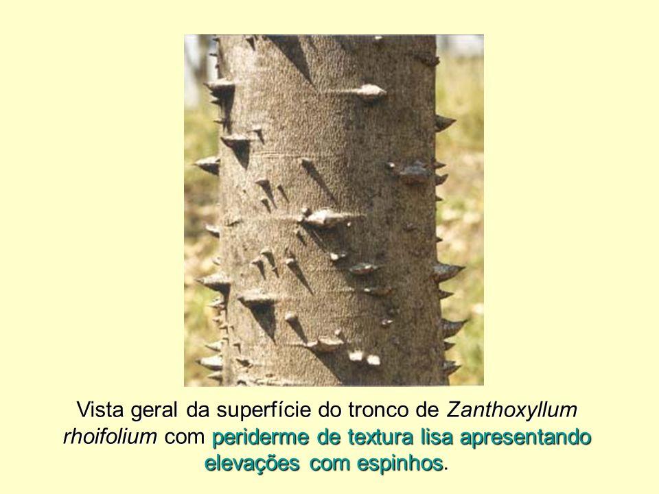 Vista geral da superfície do tronco de Zanthoxyllum rhoifolium com periderme de textura lisa apresentando elevações com espinhos.