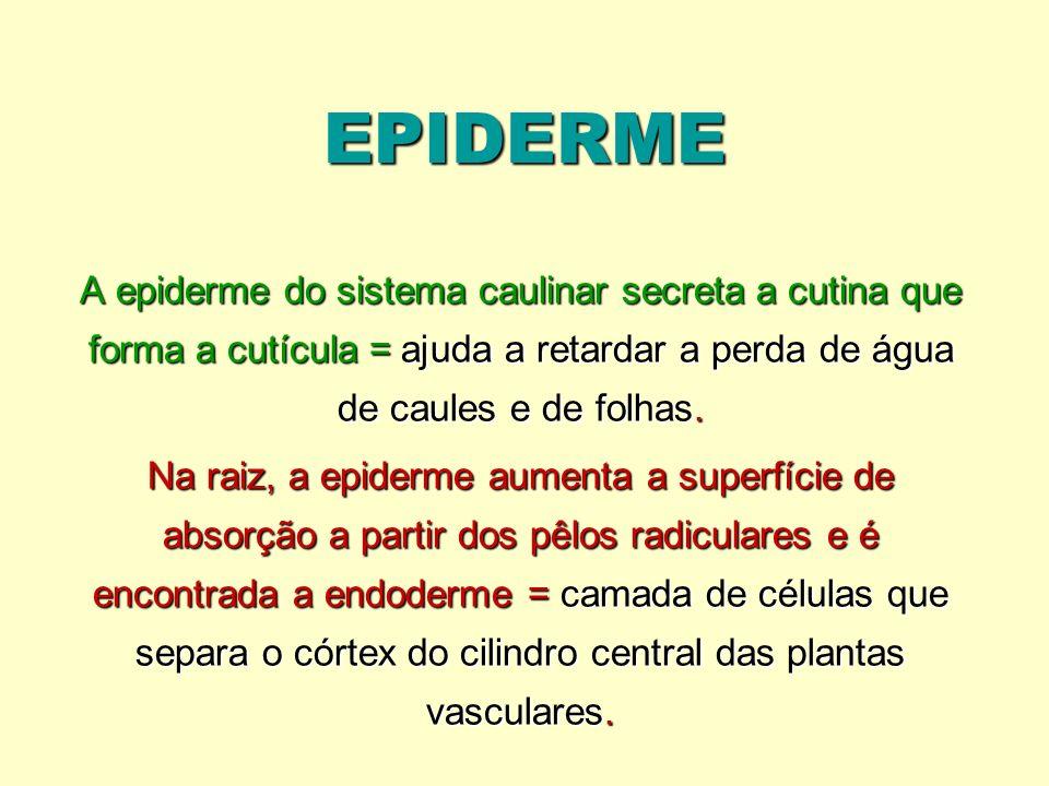 EPIDERME A epiderme do sistema caulinar secreta a cutina que forma a cutícula = ajuda a retardar a perda de água de caules e de folhas.