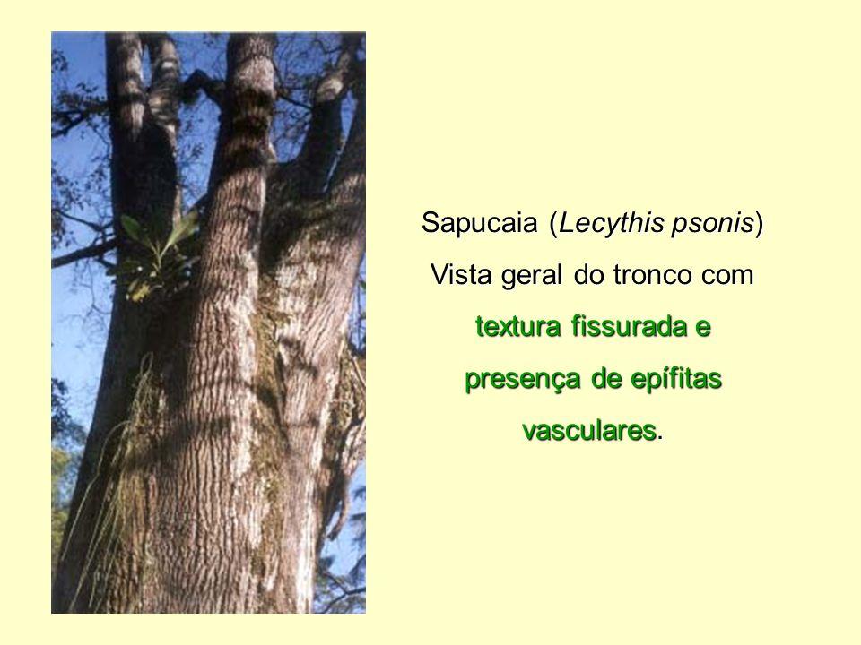 Sapucaia (Lecythis psonis)