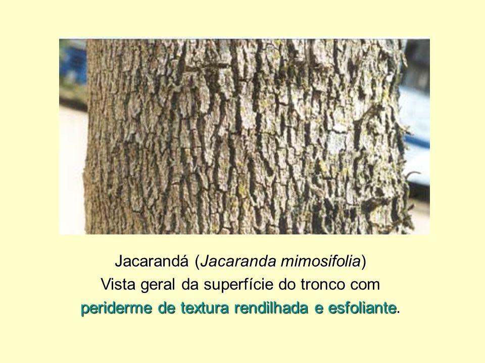 Jacarandá (Jacaranda mimosifolia)