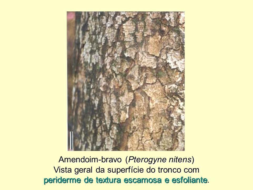 Amendoim-bravo (Pterogyne nitens)