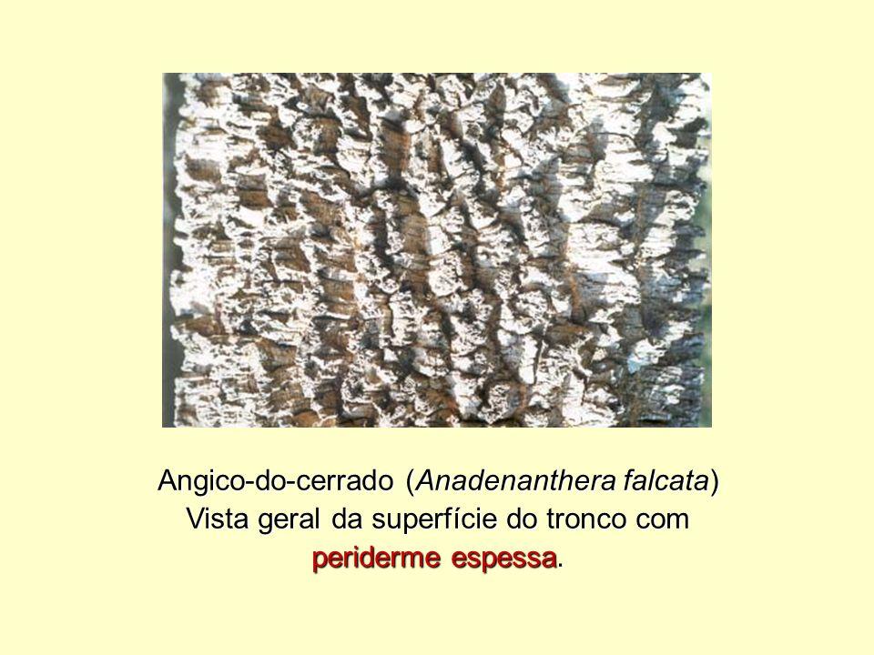 Angico-do-cerrado (Anadenanthera falcata)
