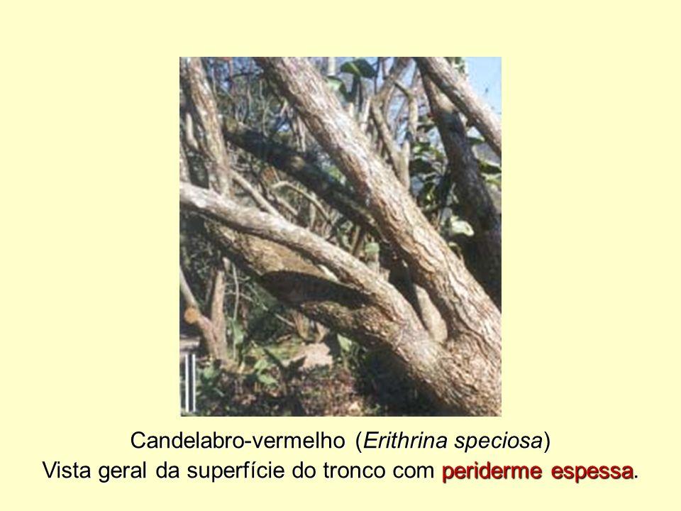 Candelabro-vermelho (Erithrina speciosa)