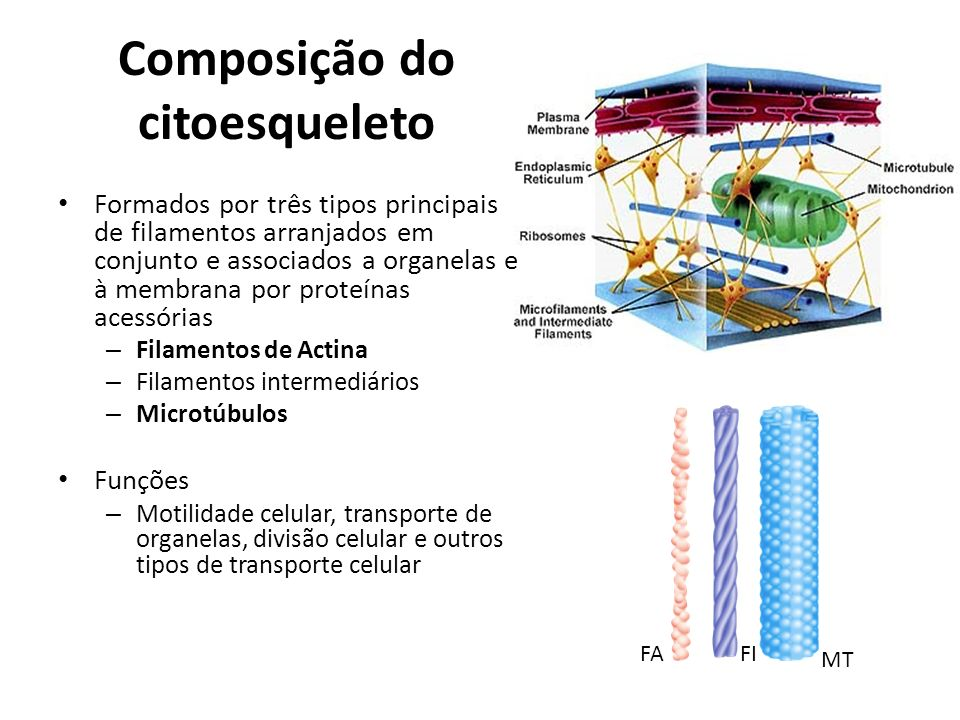 Composição do citoesqueleto