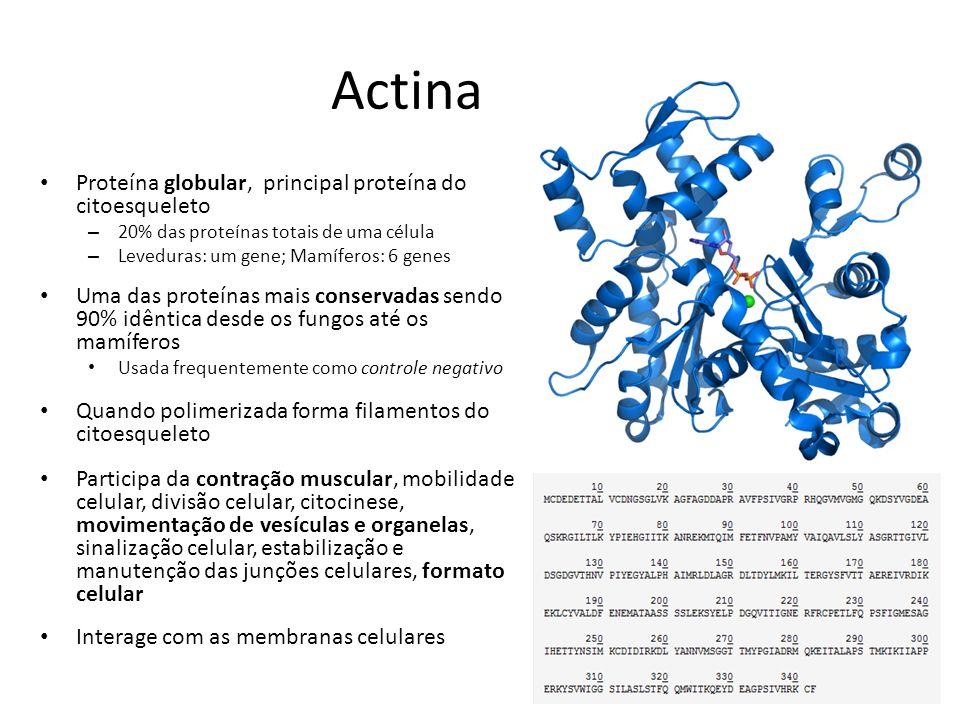 Actina Proteína globular, principal proteína do citoesqueleto
