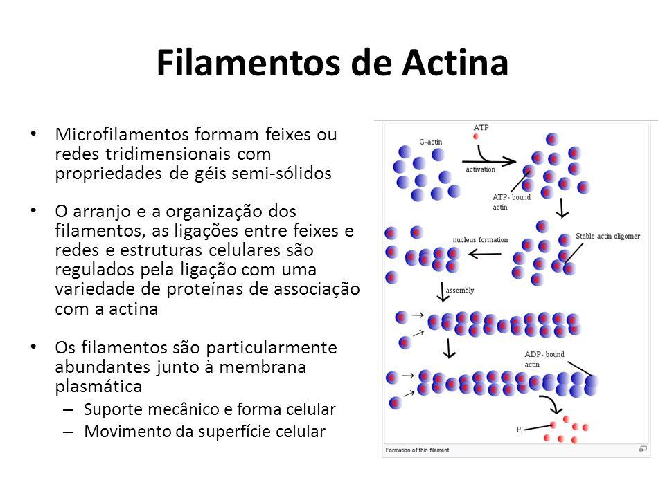 Filamentos de Actina Microfilamentos formam feixes ou redes tridimensionais com propriedades de géis semi-sólidos.