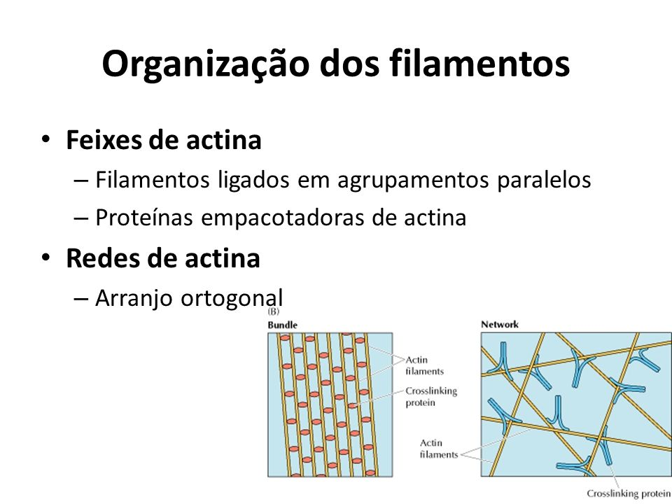 Organização dos filamentos
