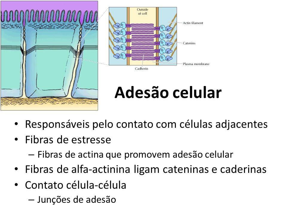 Adesão celular Responsáveis pelo contato com células adjacentes