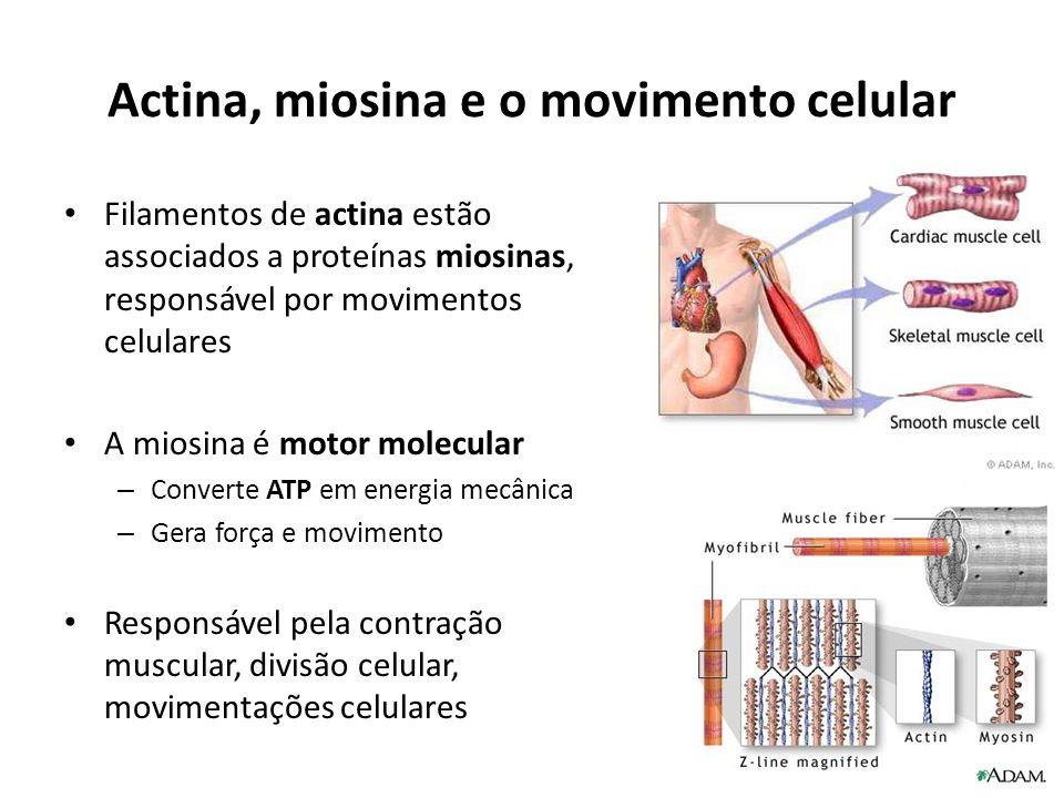 Actina, miosina e o movimento celular