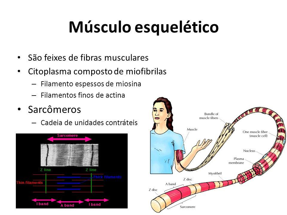 Músculo esquelético Sarcômeros São feixes de fibras musculares