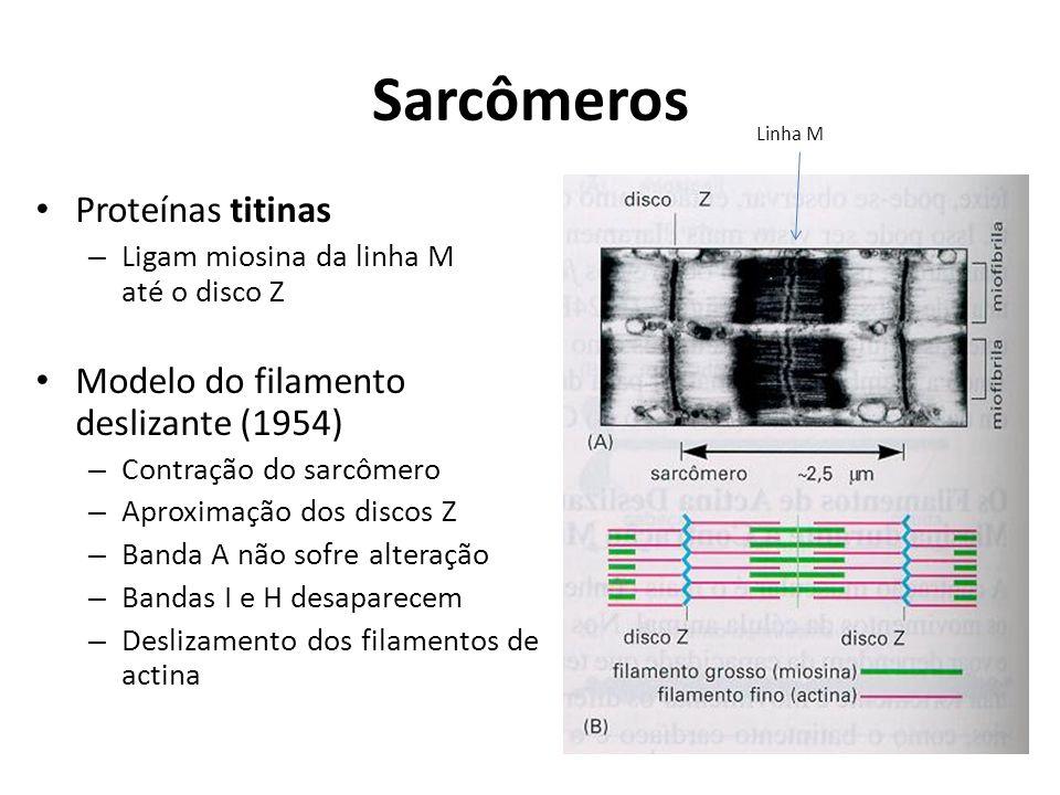 Sarcômeros Proteínas titinas Modelo do filamento deslizante (1954)