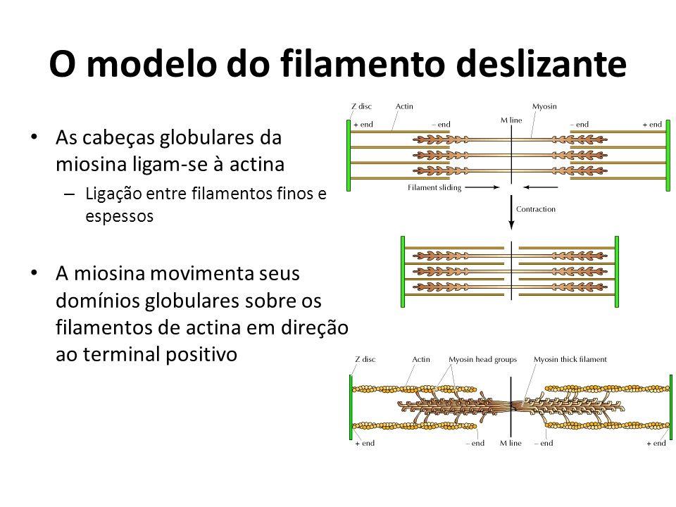 O modelo do filamento deslizante