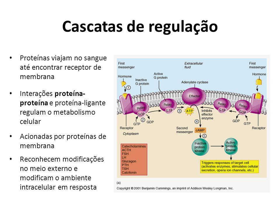 Cascatas de regulação Proteínas viajam no sangue até encontrar receptor de membrana.